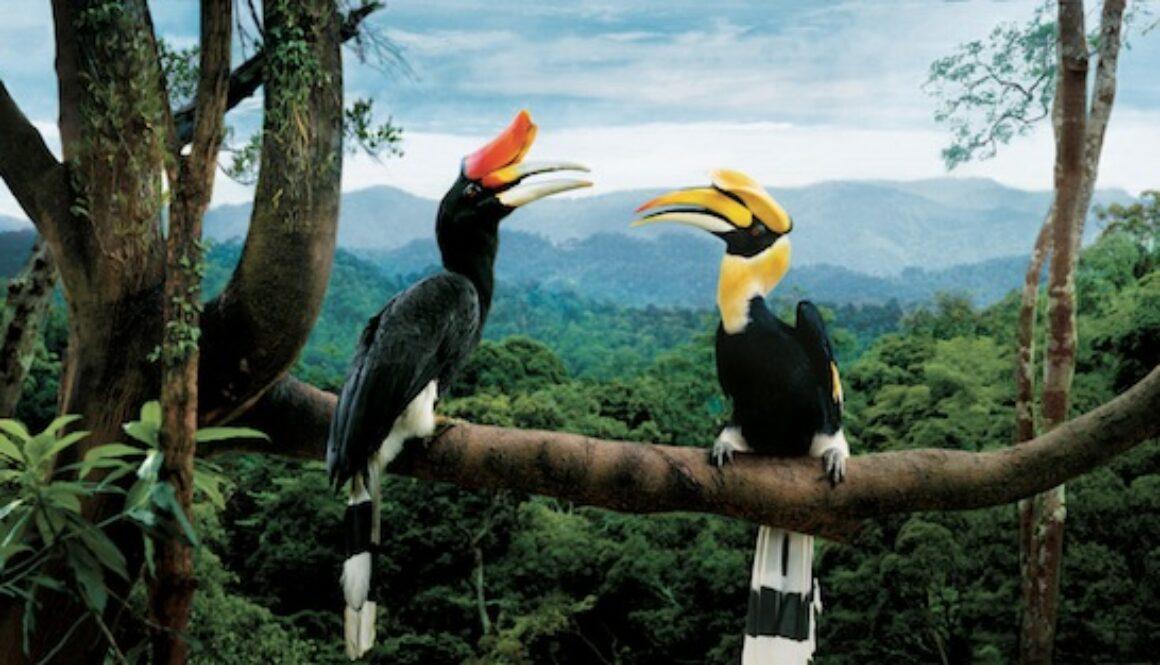 Hornbills_-_Borneo_copy