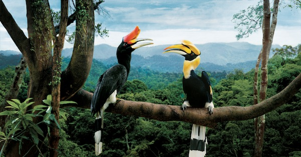 Southeast Asia's 10 countries are bonding…like Borneo Hornbills
